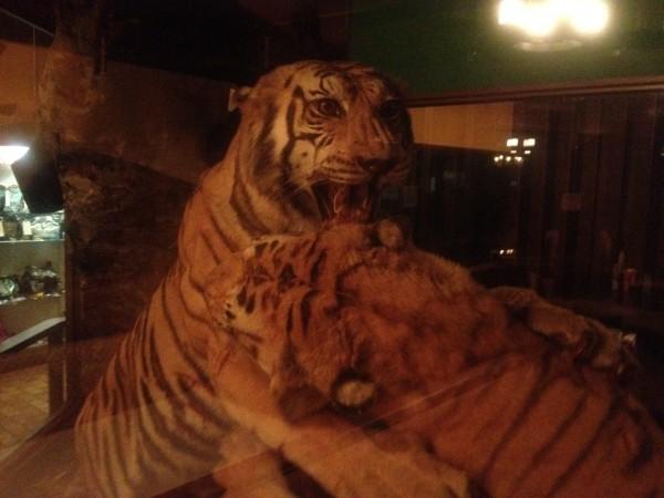 safari tigers